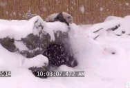 Security Cam Catches Giant Panda Having Best Time Ever During Snowstorm