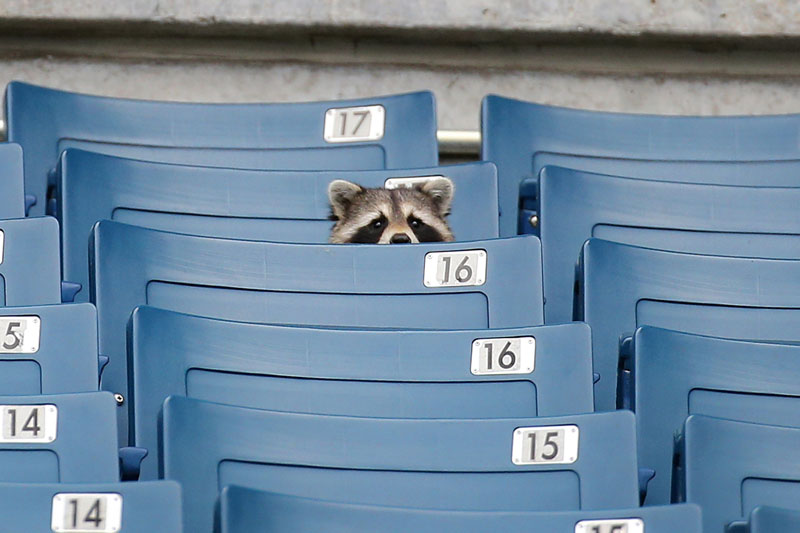 raccoon in the stands at baseball game stadium The Shirk Report   Volume 254