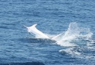This is the World's First 'All White' Blue Marlin Ever Caught on Film