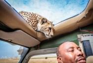 A Close Encounter With A Curious Cheetah