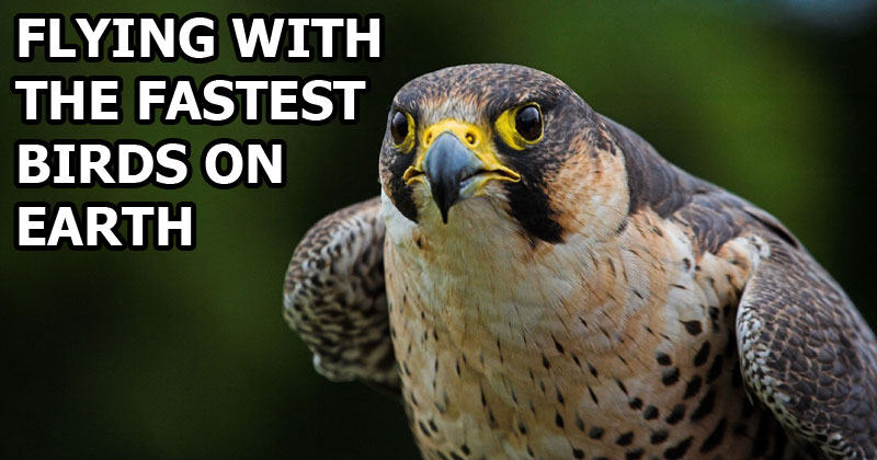 Flying With the Fastest Birds on the Planet