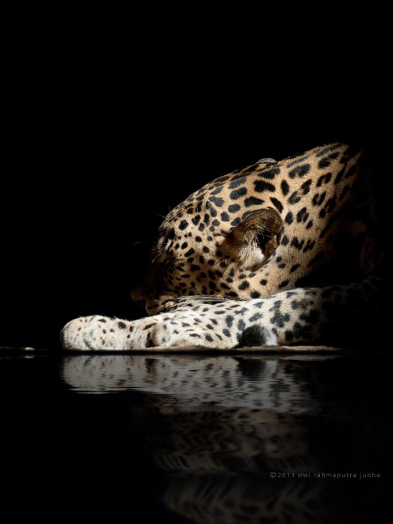 leopard reflection black