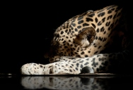 Picture of the Day: Panthera pardus