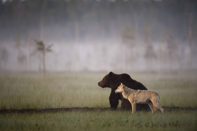 bear and wolf odd couple by lassi rautiainen 10 Highlights from the 2015 Nat Geo Traveler Photo Contest
