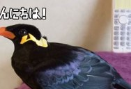 This is What a Japanese Speaking Bird Sounds Like