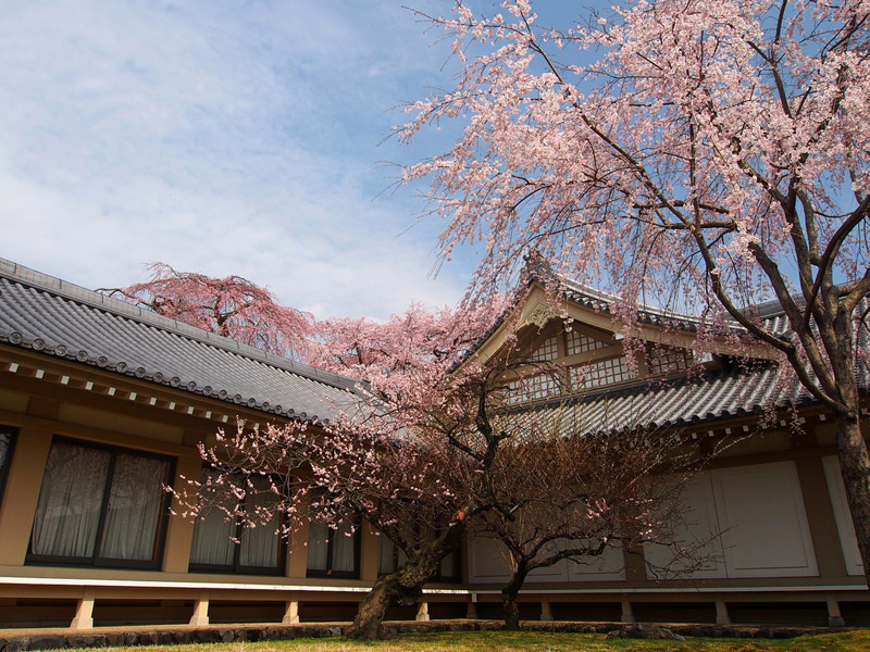 Picture of the Day: Cherry Blossoms in Kyoto