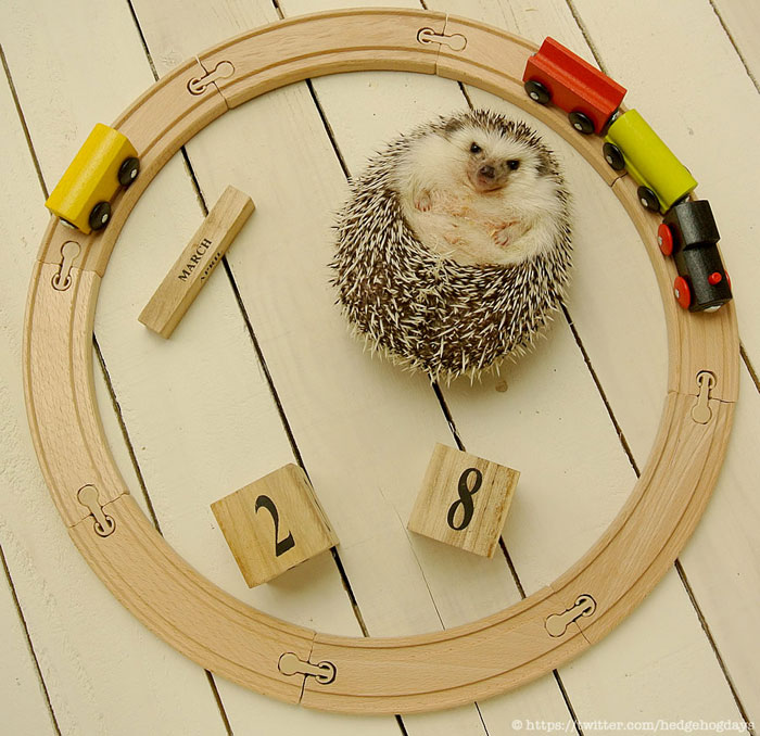 marutaro the pygmy hedehog on twitter (12)