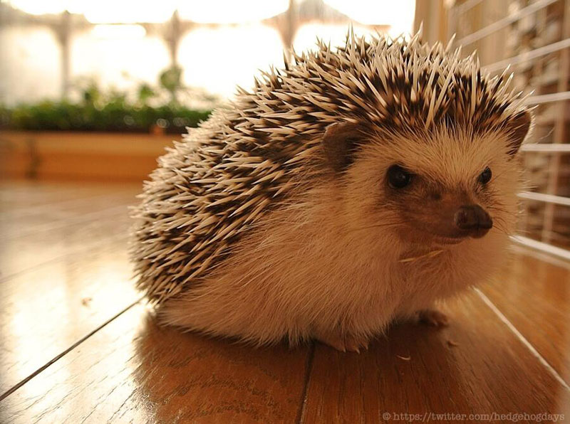 marutaro the pygmy hedehog on twitter (4)