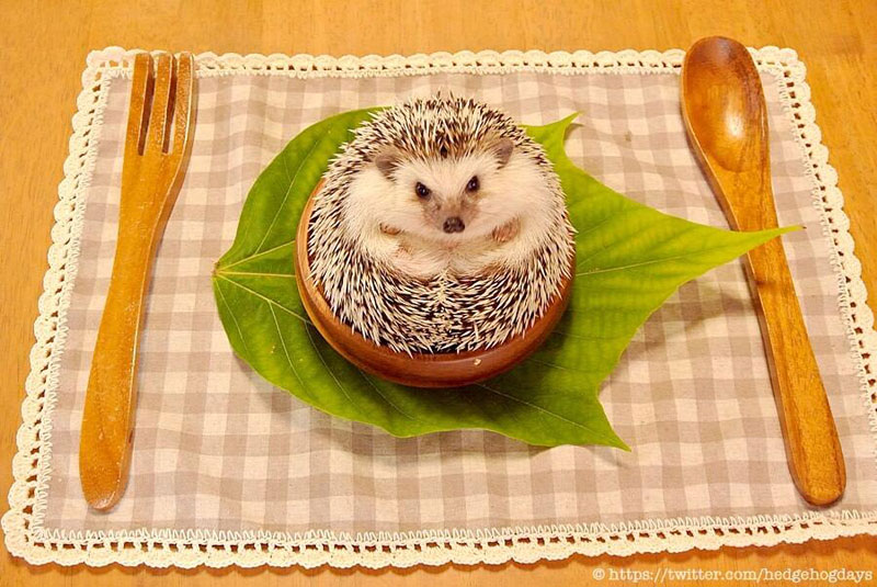 marutaro the pygmy hedehog on twitter (6)