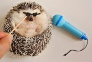 Meet Marutaro, the Hedgehog the World Needs Right Now