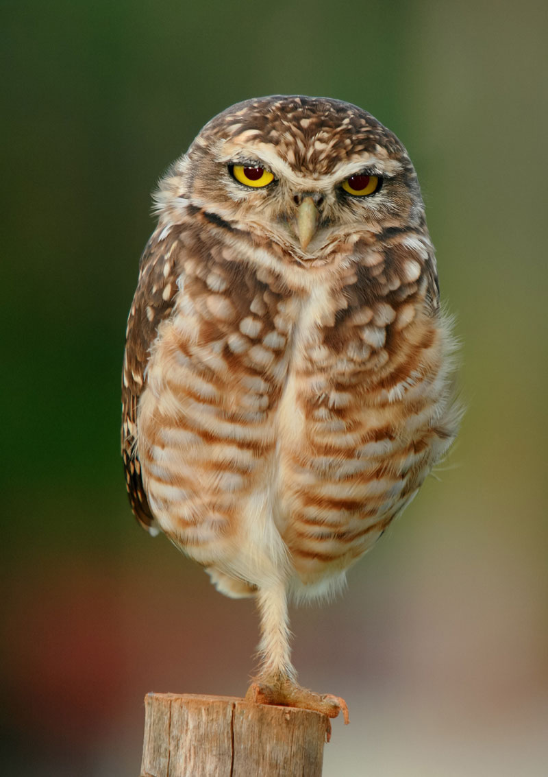 owl standing on one foot Picture of the Day: Just an Owl Standing on One Foot