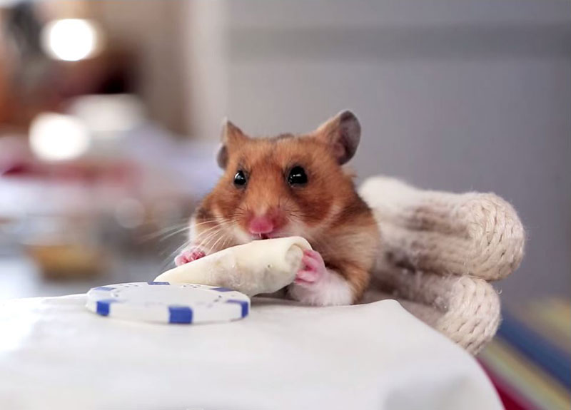 A Tiny Hamster Eating Even Tinier Burritos