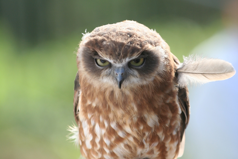 angry owl feather sticking out The Top 100 Pictures of the Day for 2014