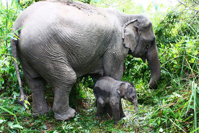 Baby_asian_elephant_with_its_mother