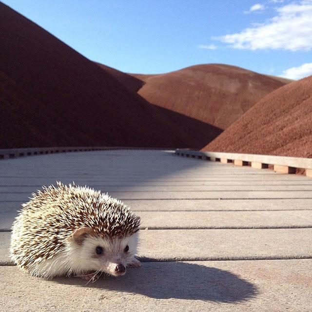 biddy the hedgehog world traveler instagram (13)