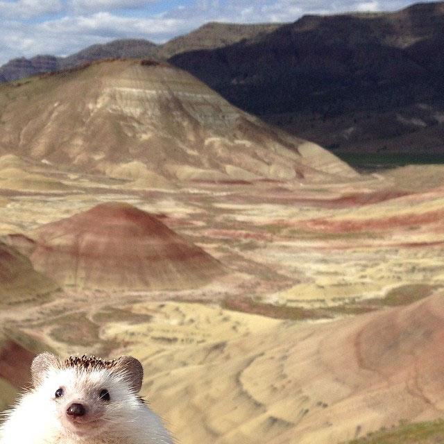 biddy the hedgehog world traveler instagram (14)