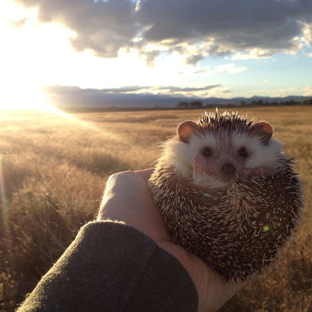 biddy the hedgehog world traveler instagram (2)