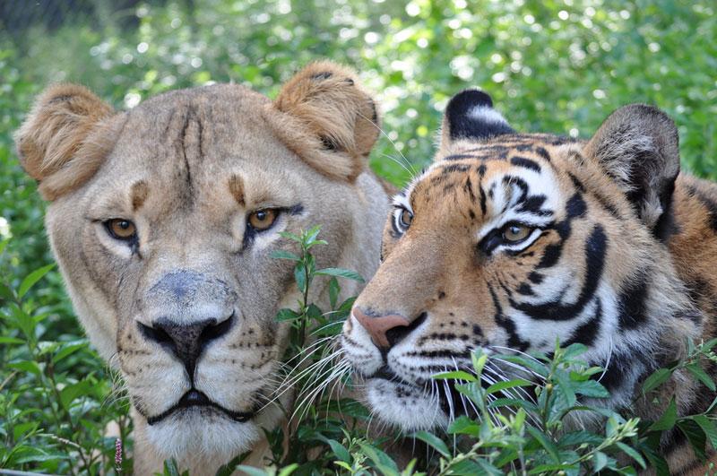 blt bear lion tiger noah's ark rescue (11)