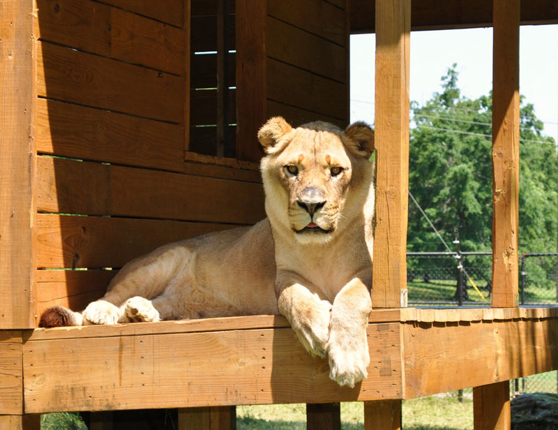 blt bear lion tiger noah's ark rescue (13)