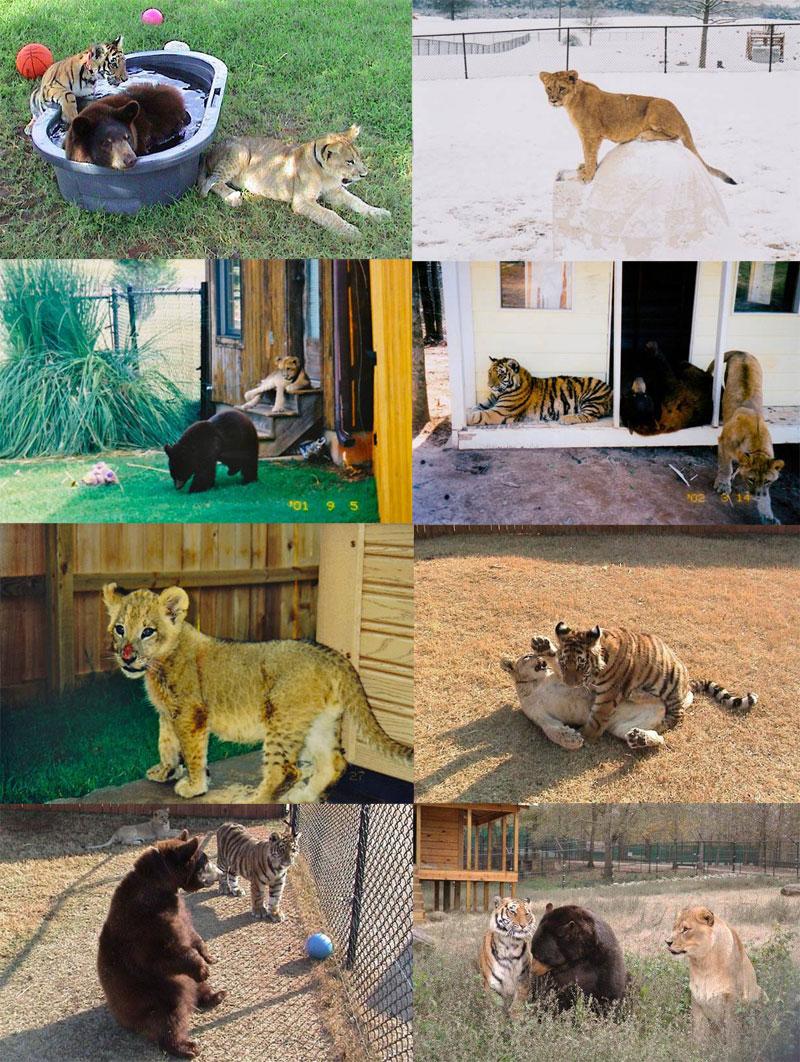 blt bear lion tiger noah's ark rescue (15)
