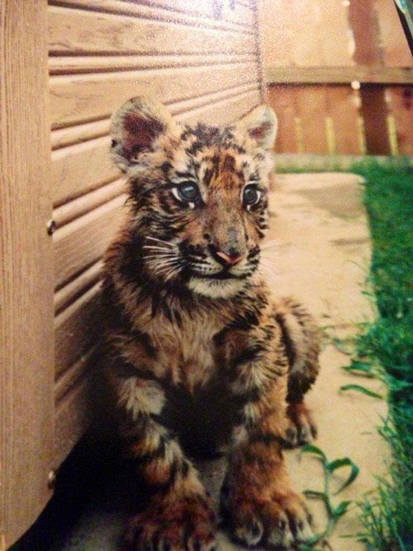 blt bear lion tiger noah's ark rescue (2)