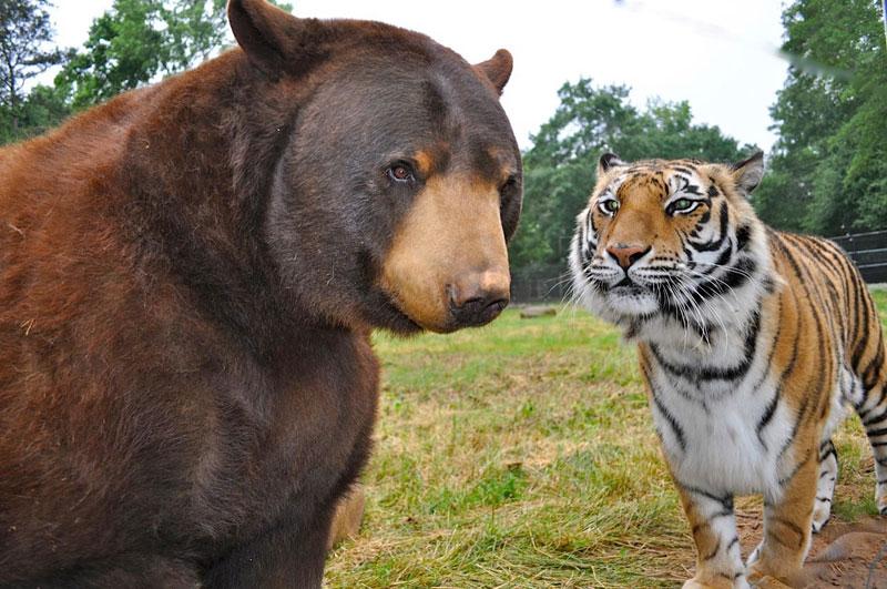 blt bear lion tiger noah's ark rescue (3)