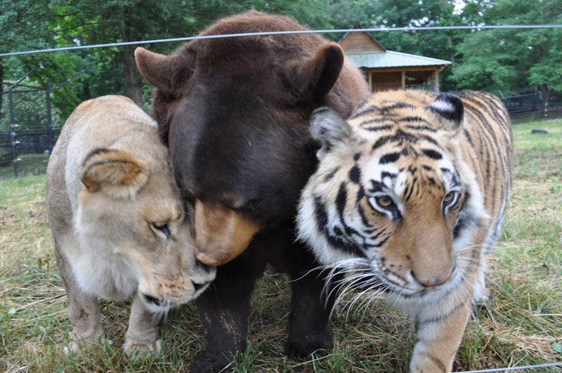 blt bear lion tiger noah's ark rescue (6)