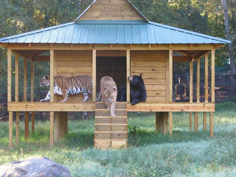 blt bear lion tiger noah's ark rescue (7)