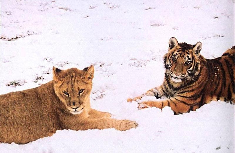 blt bear lion tiger noah's ark rescue (8)