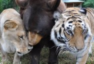 The Story of Leo, Baloo and Shere Khan: The Inseparable Bond Between a Bear, Lion and Tiger