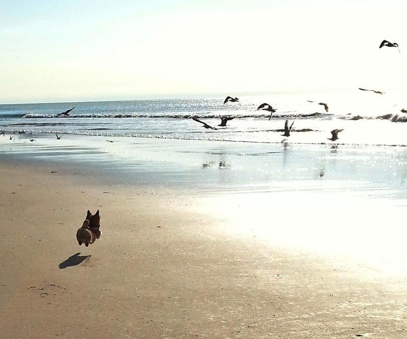 dog chasing birds on beach The Shirk Report   Volume 268