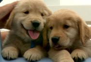 This Video Contains Golden Retriever Puppies. Lots of Them