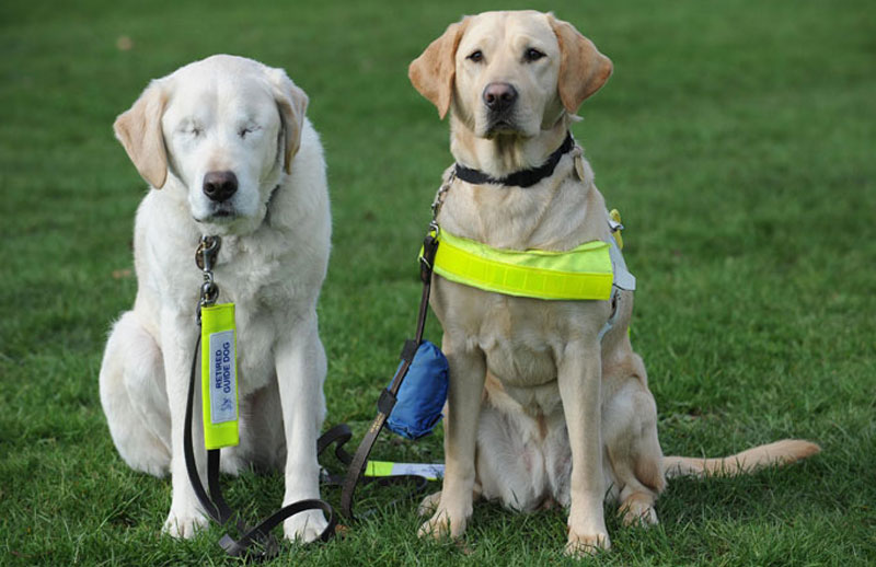 guide dog loses sight so owner gets a new guide dog for both of them 1 Underwater Photos of Dogs Fetching Balls