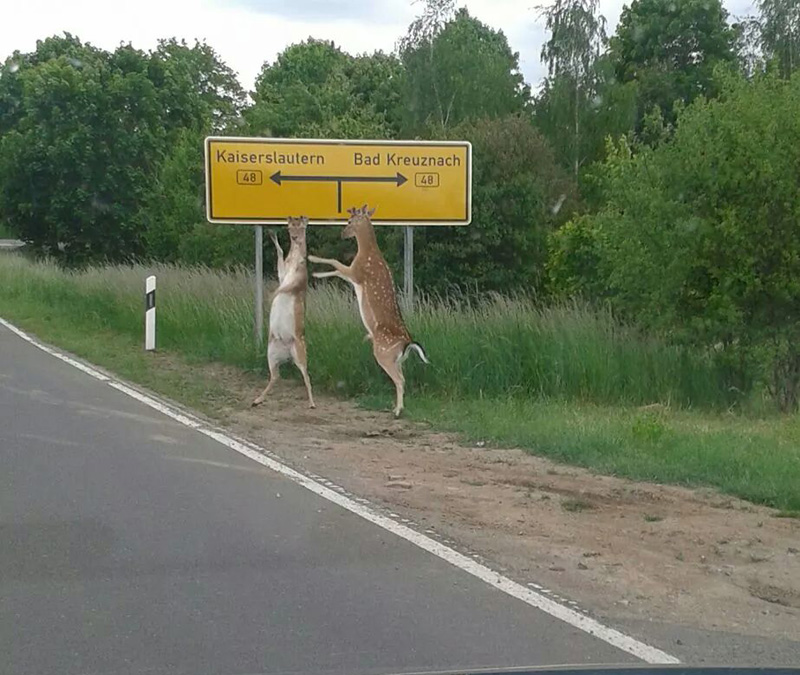 hitchhiking deer act normal The Shirk Report   Volume 267