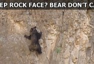 This is What Rock Climbing Bears Looks Like