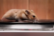 Rodents Riding Turntables