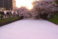 Picture of the Day: Sea of Cherry Blossom Petals