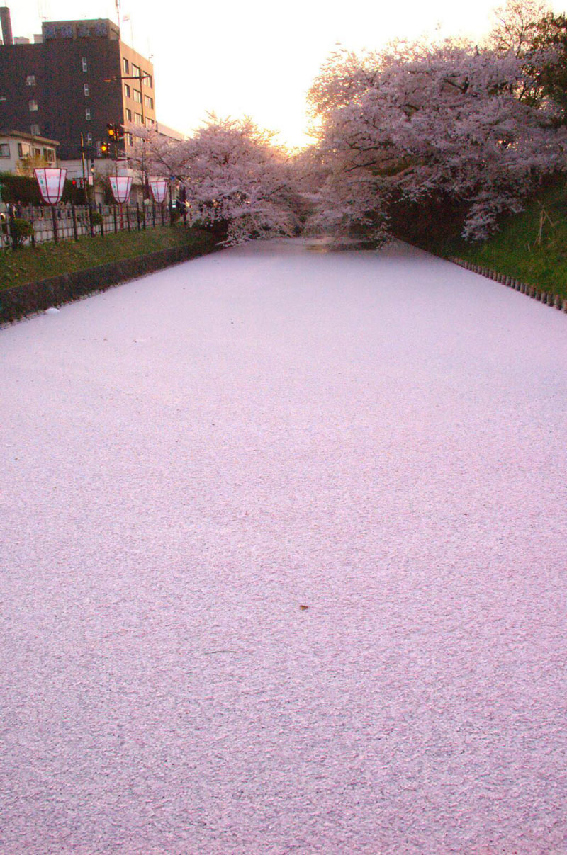sea of cherry blossom petals japan The Top 100 Pictures of the Day for 2014