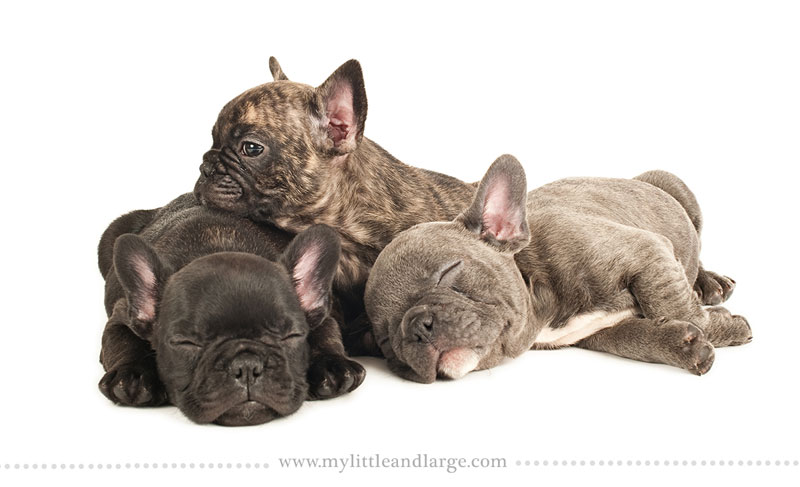 What 17 Different Breeds of Dogs Look Like at 6 Weeks Old by j.nichole smith little and large (7)