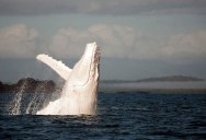 World's Only Documented All-White Humpback Spotted Off Sydney Coast