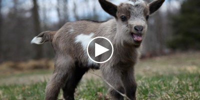 This is What 44 Running Baby Goats Looks Like