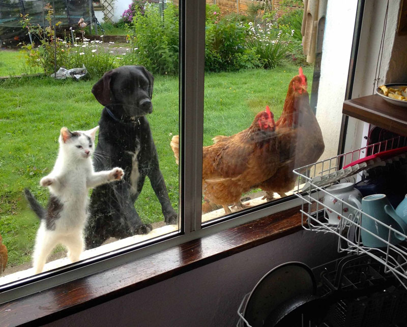 cat dog and chickens looking inside a window The Shirk Report   Volume 272