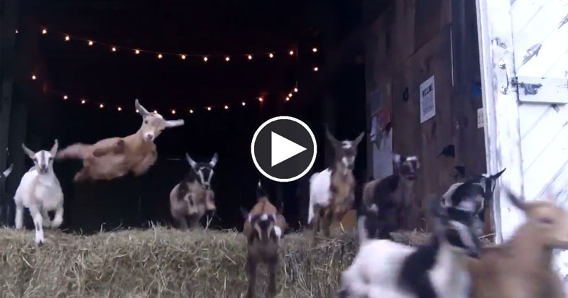 44 Running Baby Goats Now With 100% More Jumping