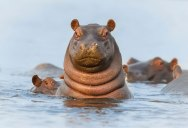 Picture of the Day: Howdy Hippo!