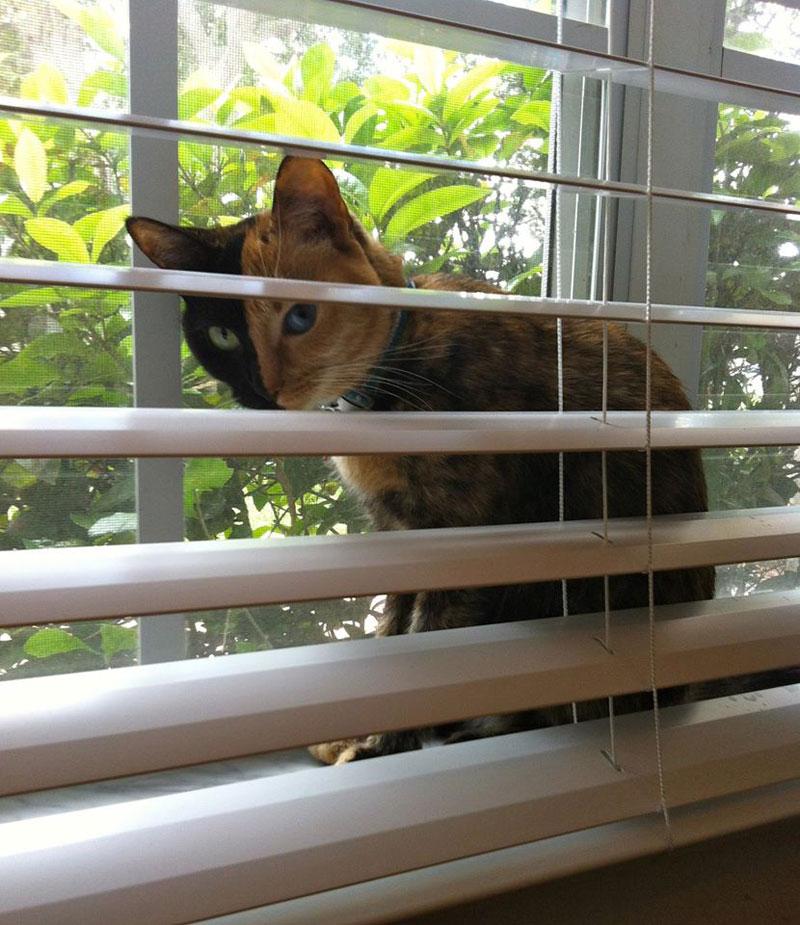 venus chimera cat two face half black half tabby (2)