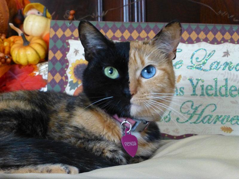 venus chimera cat two face half black half tabby (6)