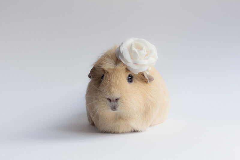worlds cutest guinea pig booboo (5)