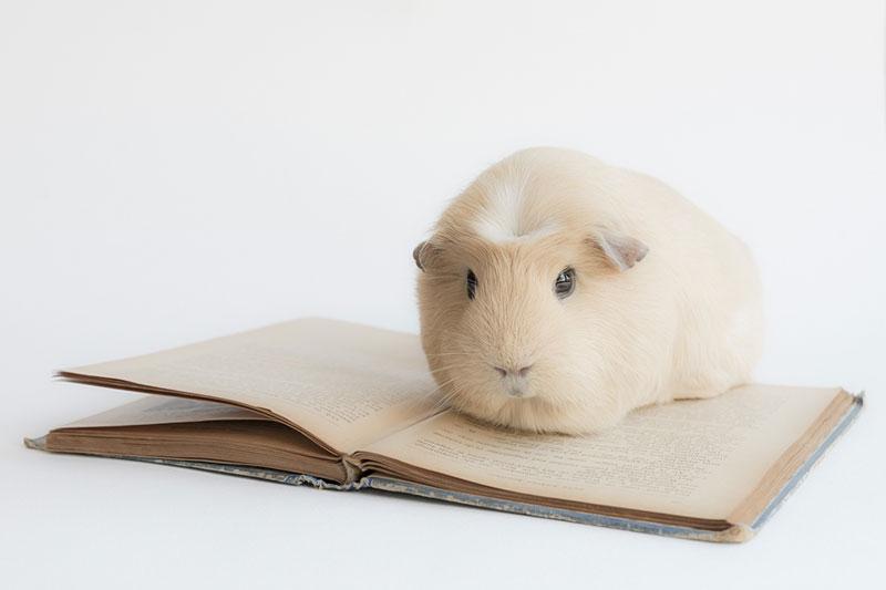 worlds cutest guinea pig booboo (6)