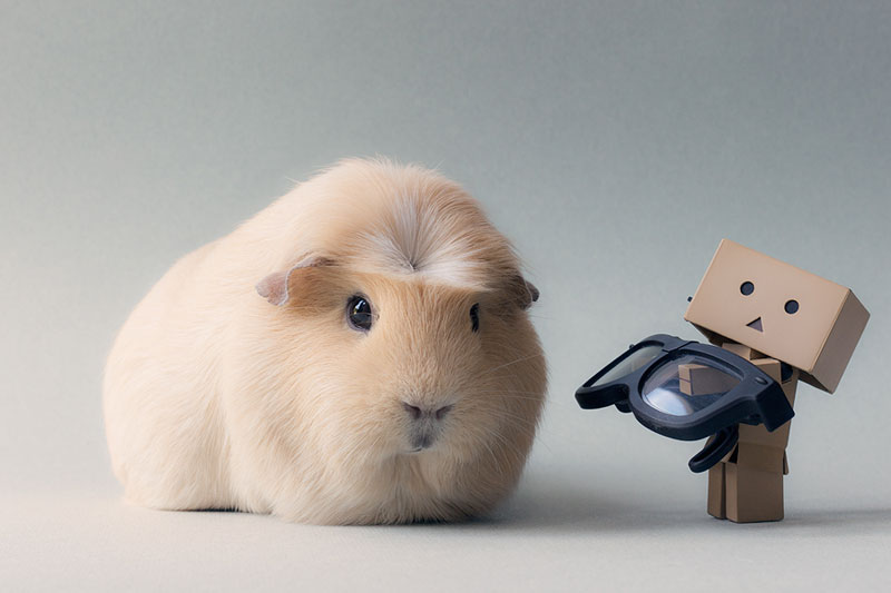 worlds cutest guinea pig booboo (7)