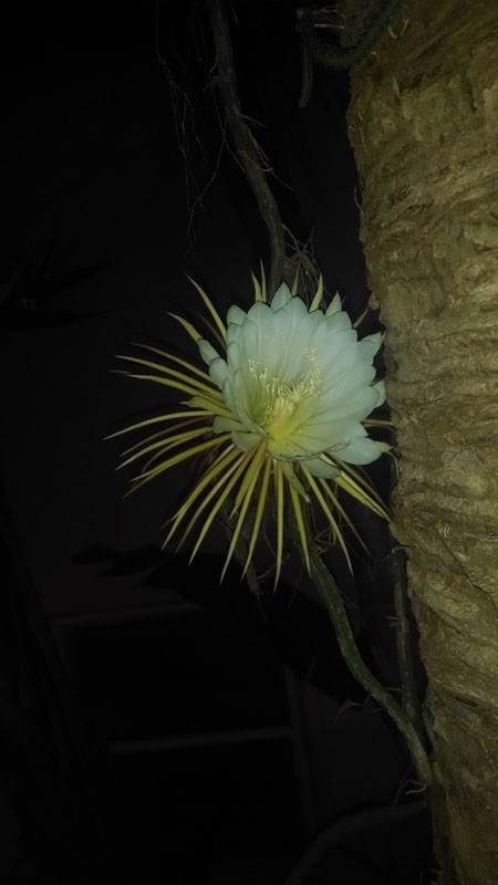 cactus flowers once a year (3)